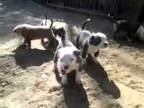 Blue Pitbull puppies for sale in southern california xl pitbull puppies for sale in southern ca