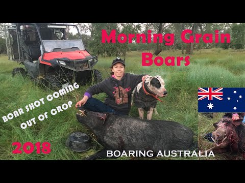 2018 FAMILY PIG HUNTING IN CROP COUNTRY AUSTRALIA - HUNTING WILD TROPHY BOARS WITH DOGS