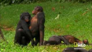 Abaza Maymunların Sevişmesi