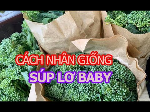 Cách nhân giống Súp lơ baby thần tốc ( Vườn Sài Gòn - 0827 99 7777)