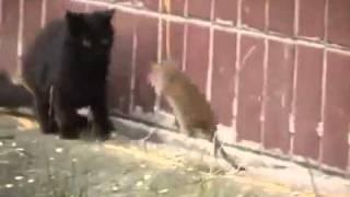 Сумасшедшая крыса разогнала 3 котов !...