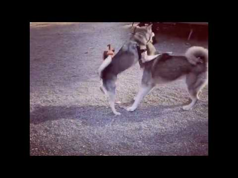 Siberian husky and alaskan klee kai puppies playing in the dog park, wild animals - wolves combat