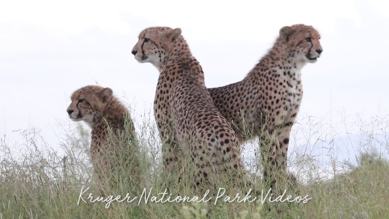 Amazing Cheetah Encounter At Kruger Park Latest Wildlife Footage Youtube