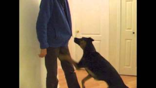 Service Dog Training: Pulling Down A Zipper