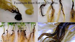 Dr. Lyndon Porter PulsED Root Disease Presentation