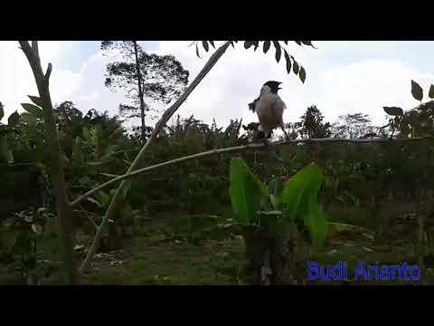 pikat burung kutilang mantap terbaik  2017