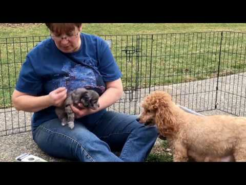 Furgee's schnoodle puppies 2-21-17