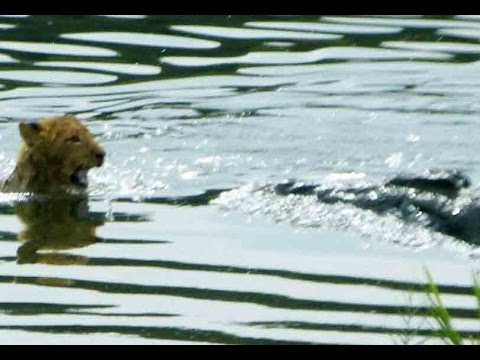 Lioness Reacts To A Crocodile Taking Her Cub - Latest Sightings