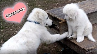 CUTE Maremma dogs in our countryside home (Whroo, Victoria, Australia).
