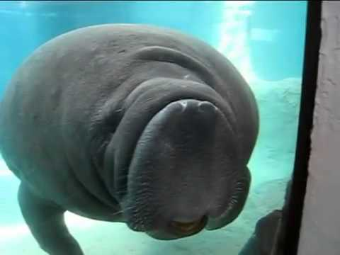 Manatees Sea Cow Smashes Into Glass Youtube