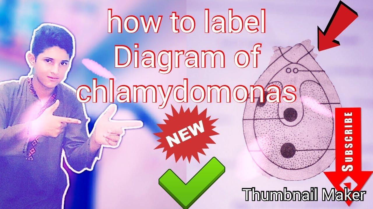 how to make label diagram of chlamydomonas