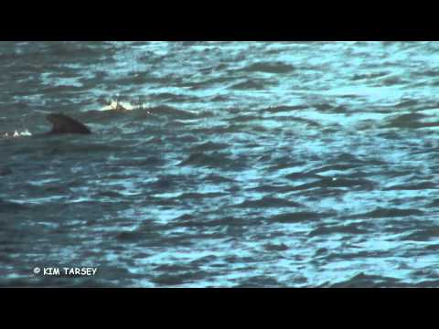Long-finned pilot whale. Norfolk 28 off Cley/Salthouse Norfolk 10/11/2014