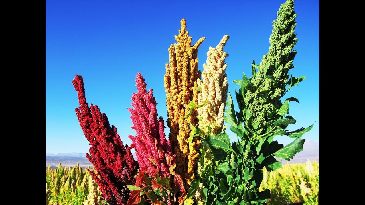 Investigacion Del Cultivo De Quinua Y Sus Variedades Tvagro Por
