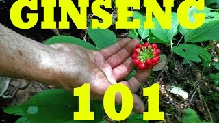 Ginseng Hunting 101. Become a PRO!