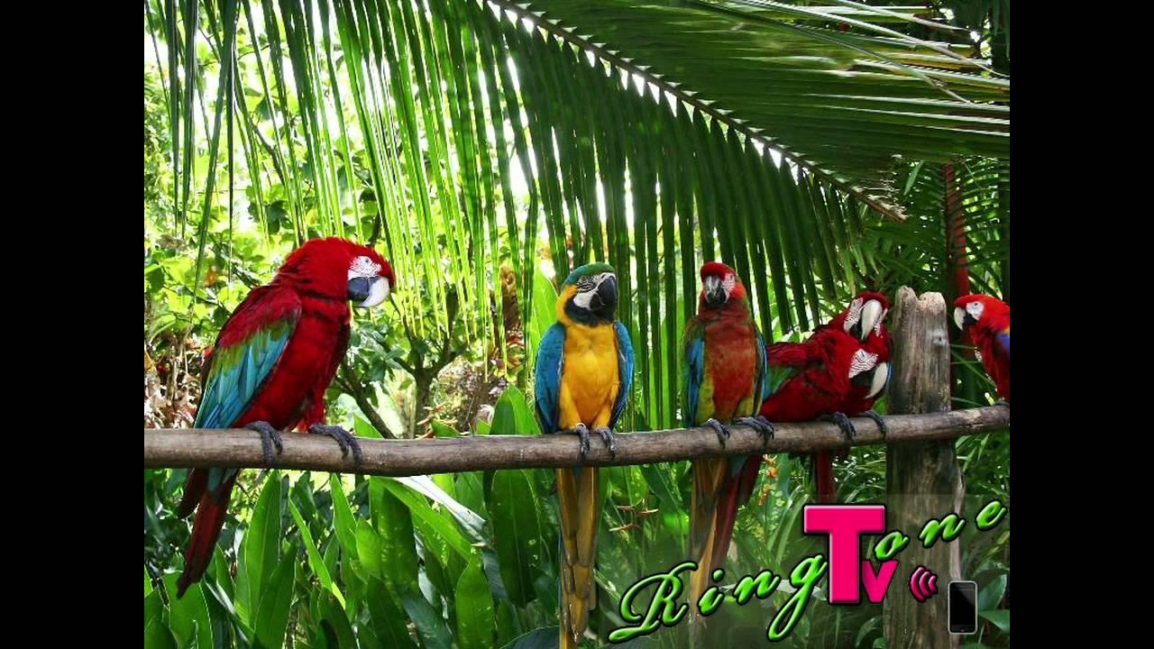 Live Falls Wallpaper Free Download Jungle Birds Ringtone Youtube