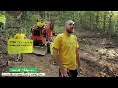 Greenpeace blochează o exploatare forestieră ilegală