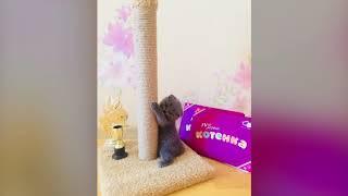 Шотландские котята. Питомник Fairy Grace
