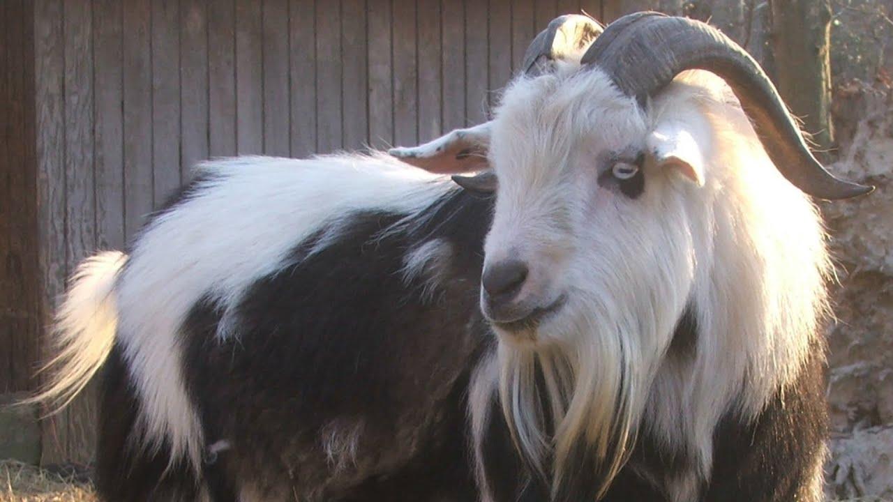 Fainting Goats   The Original Vapors
