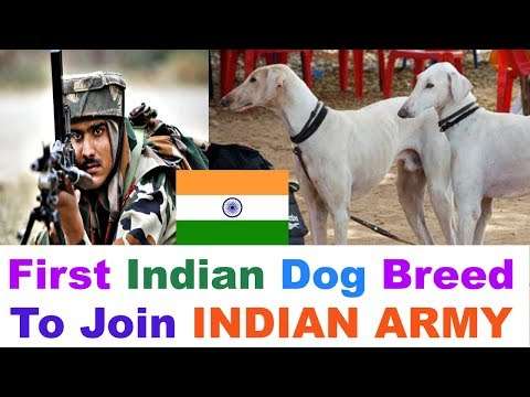 Indian Army - Mudhol Hound First Ever Indian Dog Breed To Join Indian Army