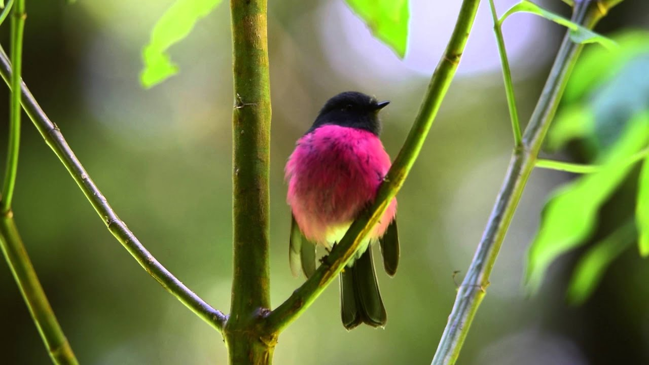 Pink Robin - YouTube