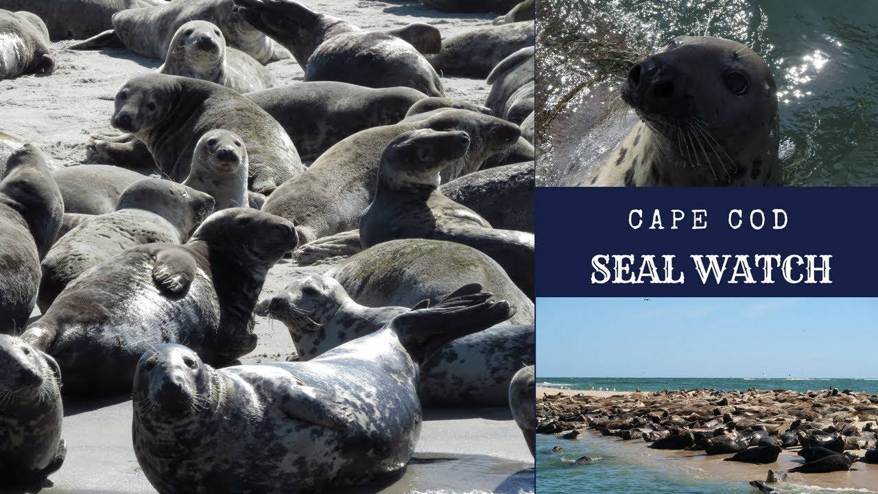 Cape Cod Seal Watch ~ Harbor and Gray Seals ~ Chatham Massachusetts
