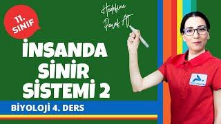 Omurilik | İnsanda Sinir Sistemi 2 | 11. Sınıf Biyoloji Konu Anlatımları #11bylj