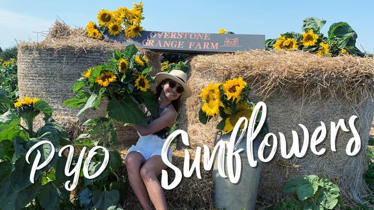 PYO Sunflowers 🌻 เที่ยวฟาร์มดอกทานตะวันในวันอากาศดีๆ ที่ประเทศอังกฤษ 8/8/20