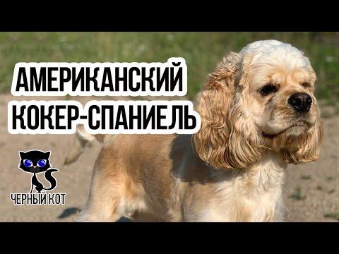 Американский кокер-спаниель / Интересные факты о собаках / Порода американский коккер-спаниель