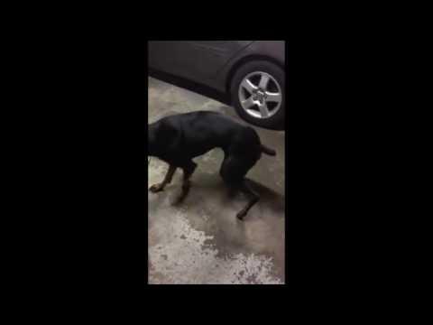 Doberman Pinschers Having Fun Some Good Dogs Playing Around
