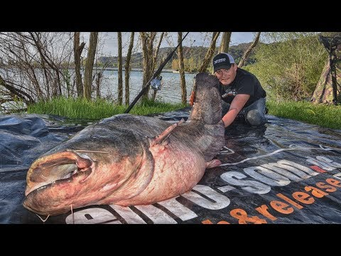 Giant Fish On Tiny Bait: 100kg Wels Catfish On 5g Boilie Uncut. Fishing In France With EURO-SOM.de