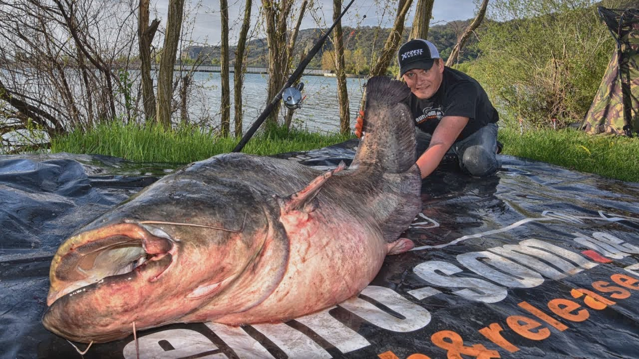 Download Giant fish on tiny bait: 100kg wels catfish on 5g boilie uncut. Fishing in France with EURO-SOM.de