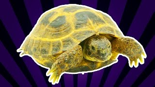 Содержание сухопутных (среднеазиатских) черепах в домашних условиях от ReptoMir-TV