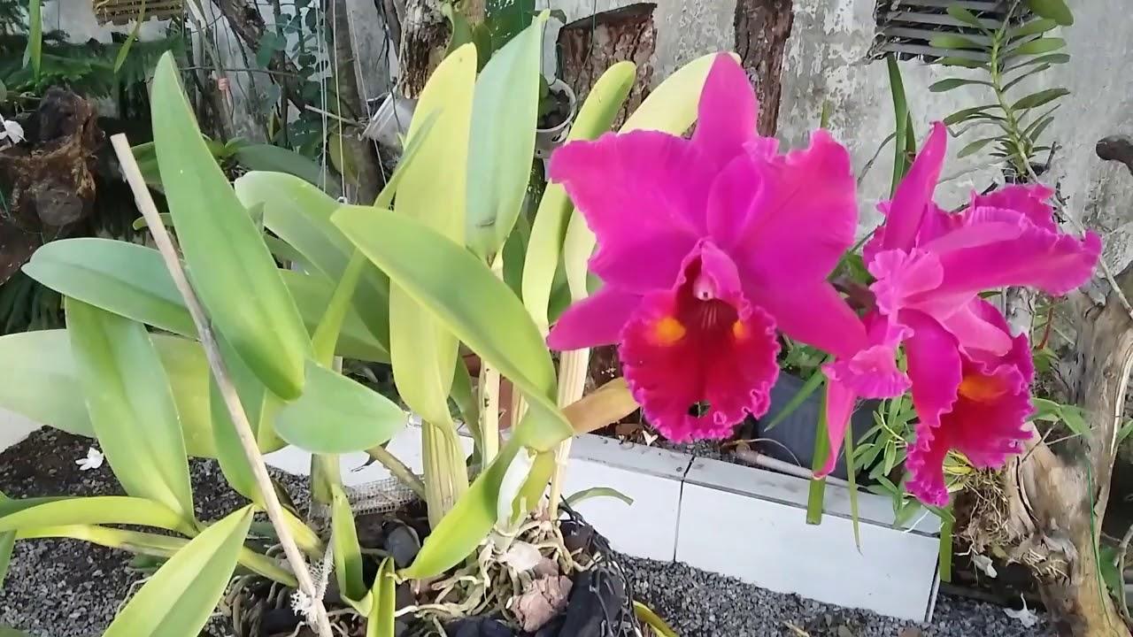 Replantei Essas Duas Orquídeas Cattleyas Juntas E Veja O Que Aconteceu