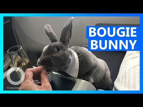 Bow-tie bunny flies business class to Japan - TomoNews