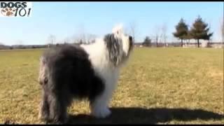 101 Dogs  Olde English Sheepdog English