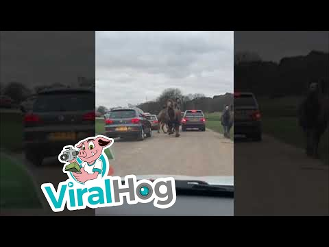 Kat Jackson - Camel Heard Plows Through Traffic