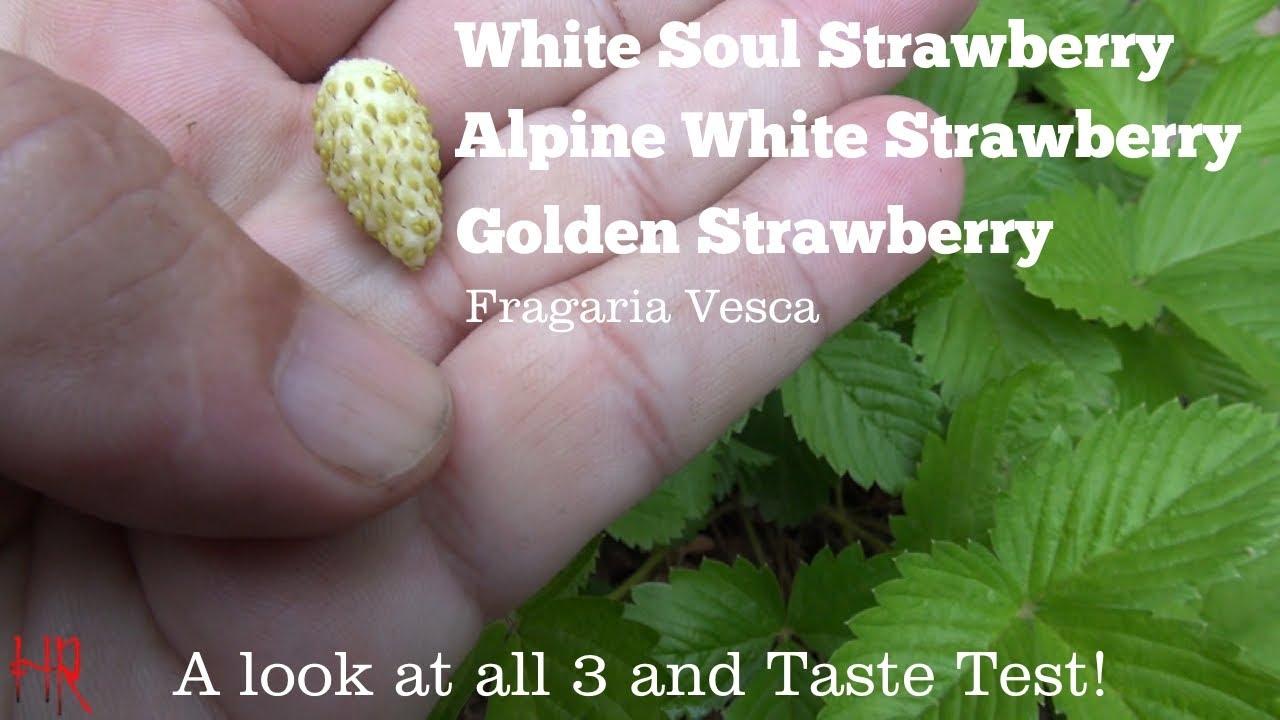 Strawberry Alpine White Soul Fruit Bush Fragaria Vesca 40 Seeds