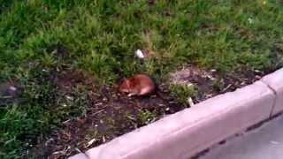 Крысы жируют в Кемерово средь бела дня