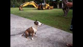 English Bull Terrier Hoku Hawaii- Training!