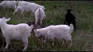 как и когда покупать козу