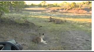Oct 20 WildEarth Safari Sunrise Drive ft Tsalala Lions & Buff Hunt, Karula