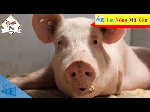 Dự báo giá lợn hơi ngày 21/6 tại 3 miền   Tin Nóng Mỗi Giờ