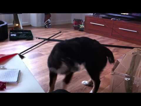 Svanslös hund jagar svans x)
