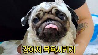 강아지 목욕시키기 | 퍼그 목욕하는법