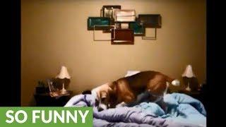 Beagle has hilarious bedtime routine