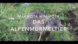 Das Alpenmurmeltier - kleine Tierdoku