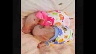Cute Mini Pigs Play Dress-Up