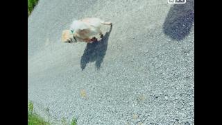 (55) Пикинес.Как лечить боли в спине у собаки.