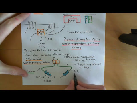 Cyclic AMP signalling Part 3