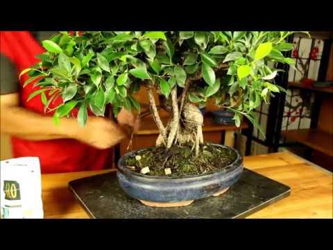 Cuidados Y Consejos Bonsái Ficus Retusa Mistral Bonsai Youtube